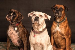 Three dogs with collars with ID