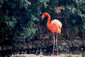 A pink flamingo in some sort of a natural setting.